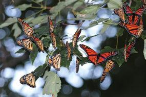 Monarchs – the king of butterflies
