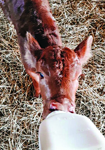 Darryl is a crossbred bull calf born on April 14. He has a twin sister who is being raised by their mother, while Darryl is being bottled fed by Hannah Pate.