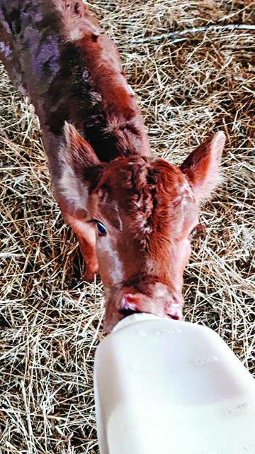 Crossbred heifer calf born on Easter morning