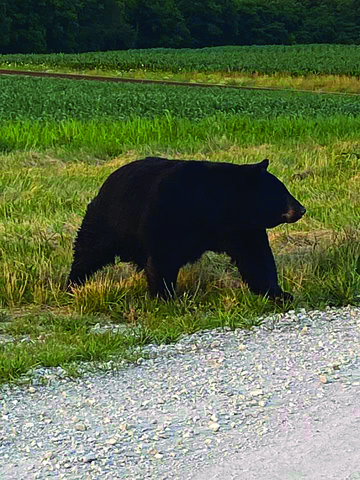 Black bear in Central Illinois
