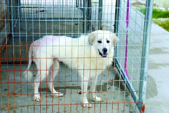 Photos by Kyla Hurt The back end of Patchouli, a Great Pyrenees, is shaved; the fur was so extremely matted from the terrible conditions at the facility in Clayton that it was the only option.
