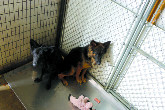 Photos by Kyla Hurt Ulta and Sephora, German shepherds, were from Adams County. The two initially would only eat off of the floor, but are doing much better.