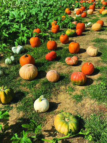 There are pumpkins available for purchase in all shapes, sizes and colors.