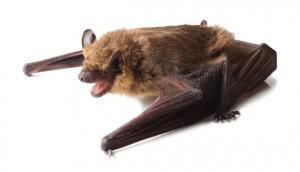 Big-Brown-Bat-900x500