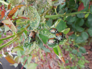 Theeey're back … Japanese beetles