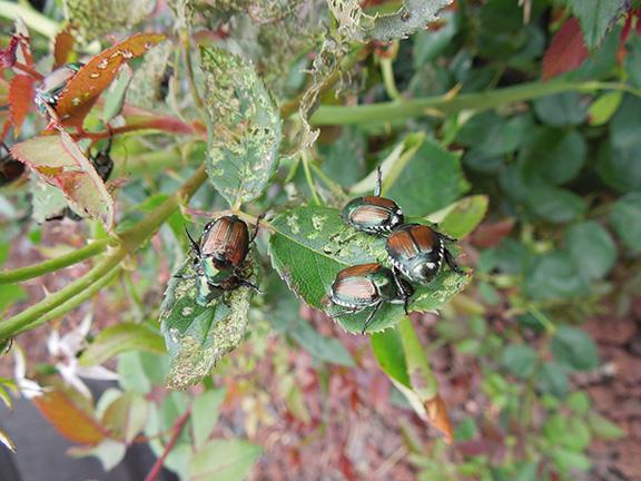 Theeey're back … Japanese beetles