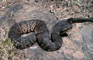 Illinois Cottonmouth snake