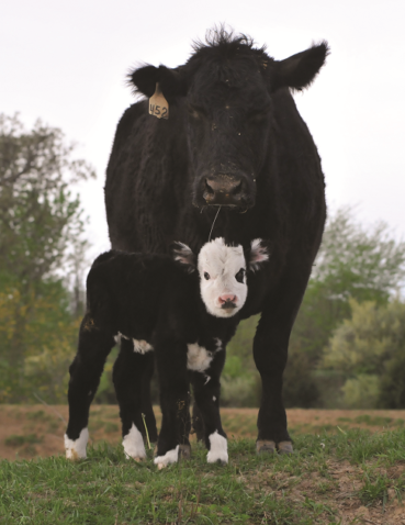 Birthing a cow into a career