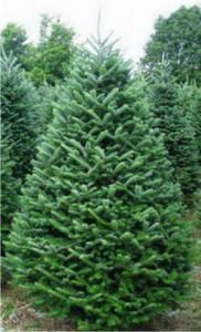 fraser-fir-christmas-tree