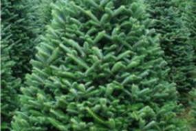 Choosing a Christmas tree