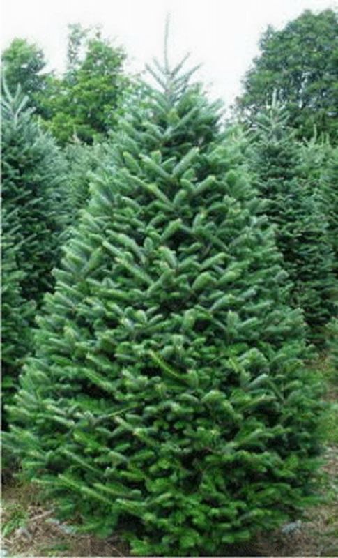 Choosing a Christmas tree