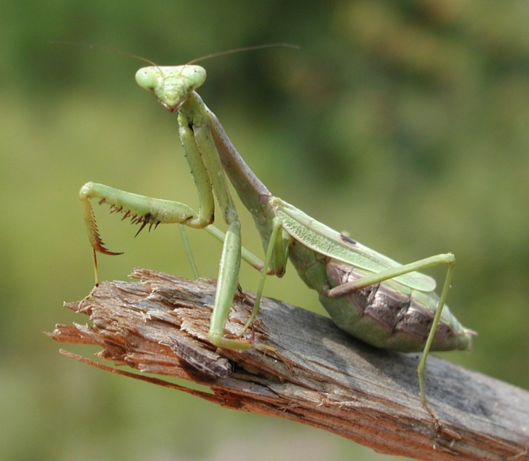 A closer look at nature: the praying mantis