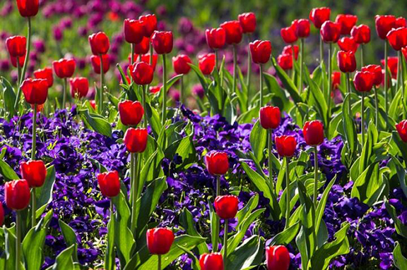 Spring blooming bulb care
