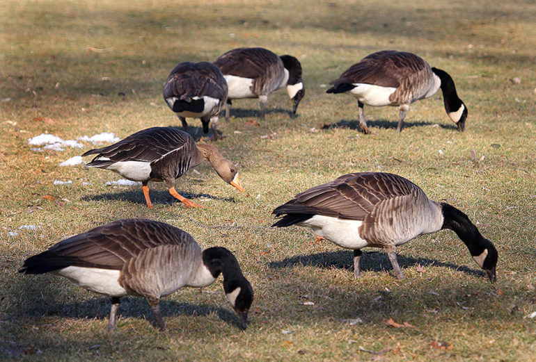 Geese Knowledge