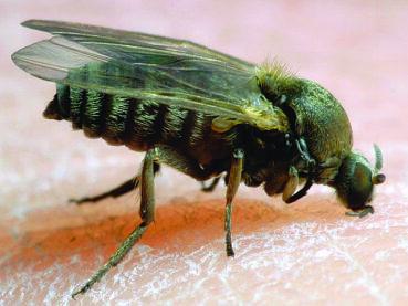 Buffalo gnats are back