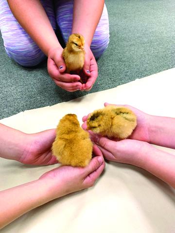Little hands hold little chicks from the program.
